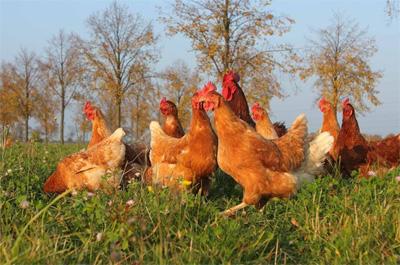 Wiesenhühner vom Zinnerhof - Hühner auf der Weide