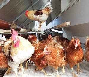 Wiesenhühner Zinnerhof - Hühner im Hühnermobil