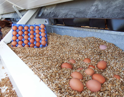 Wiesenhühner Zinnerhof - die Eier